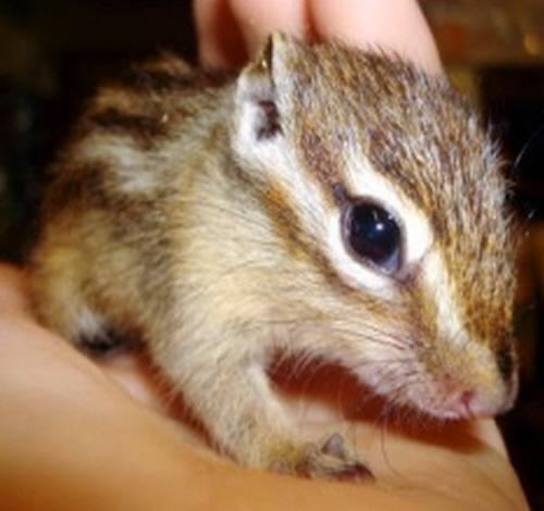 손다람쥐 (분양마감)